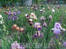 Ірисовий сад
