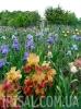 Ирисовый сад